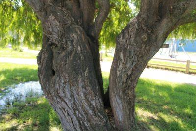 Nature : camping avec son saule pleureur